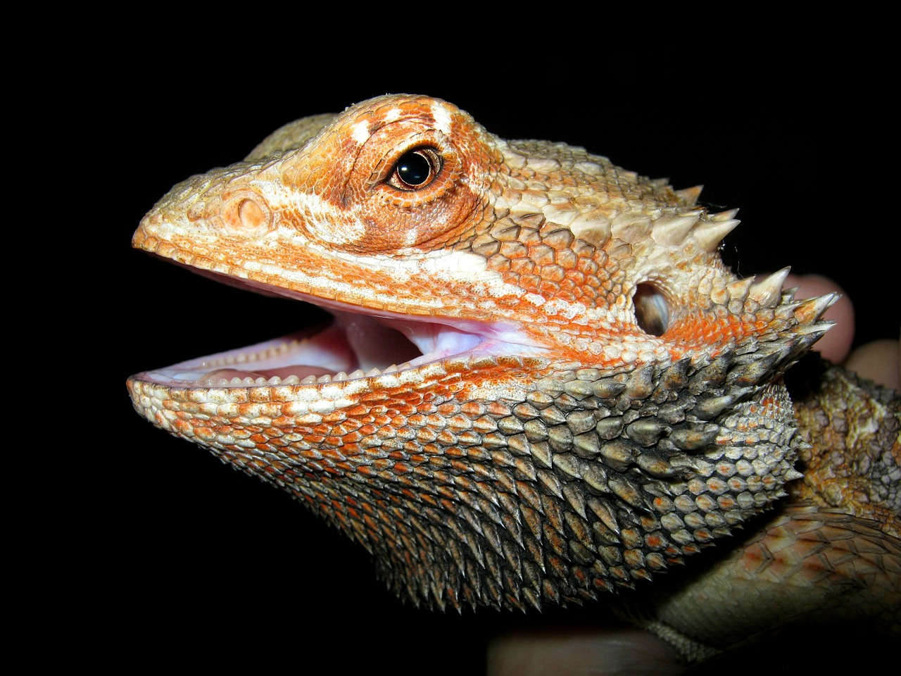 ¿Qué necesito para tener un dragón barbudo?
