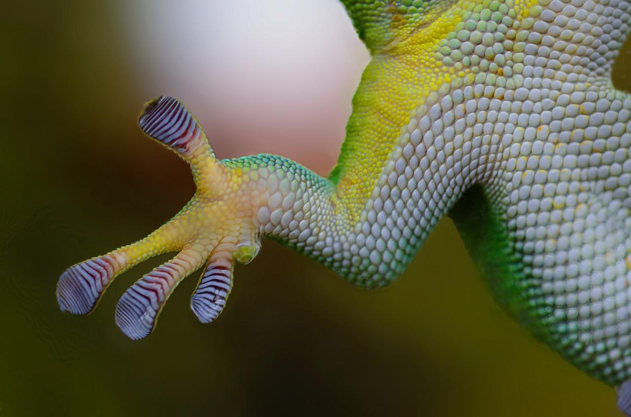Cuidado de los geckos Tokay