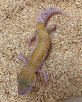 Nº126 Sunglow WY Raptor (posible hembra)